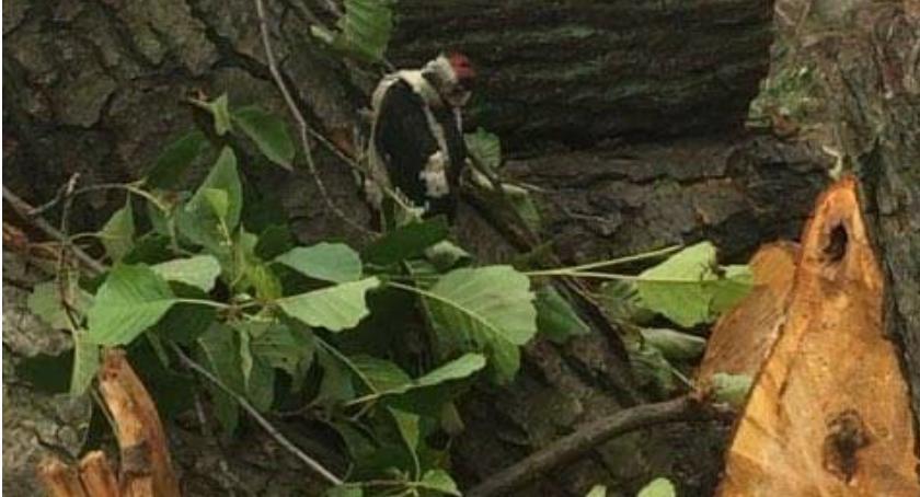 Zieleń, Policja wyjaśni wycinkę drzew której mogły zginąć pisklęta - zdjęcie, fotografia