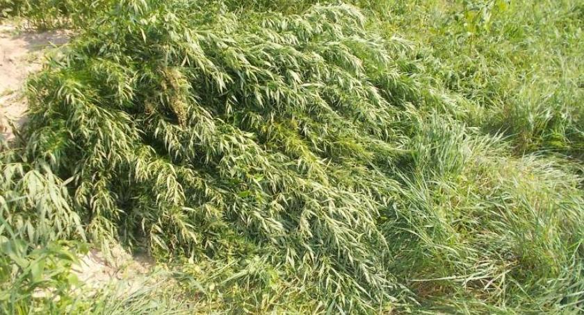 Narkotyki, Hodowla konopi Dobka Oleśnicy zlikwidowana przez straż miejską [ZDJĘCIA] - zdjęcie, fotografia