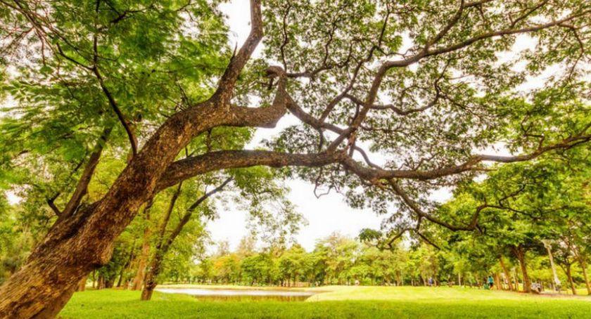 Zieleń, Mieszkańcy chcą sadzić drzewa własnych pieniędzy - zdjęcie, fotografia