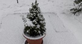 Oddaj zbędne drzewko Lasom Miejskim - już jutro rusza akcja