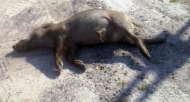Martwe, chore dziki w Jabłonnie i Nieporęcie. Afrykański pomór świń coraz bliżej...