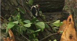 Policja wyjaśni wycinkę drzew w której mogły zginąć pisklęta