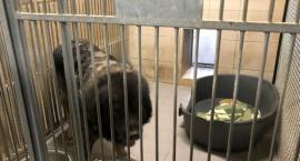 Agresywny owczarek kaukaski odłowiony przez Ekopatrol przy Modlińskiej