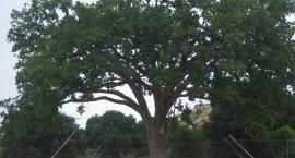 Na ratunek drzewu - akcja przesadzenia białołęckiego dębu