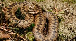 Jadowity wąż w ogrodzie na Białołęce