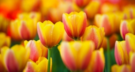 Ukradł 80 tulipanów przed urzędem dzielnicy