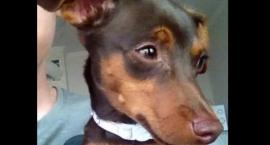 Szukamy właściciela kolejnego zagubionego psa