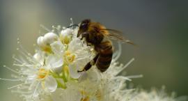 Dbajmy o pszczoły, kosztujmy miód
