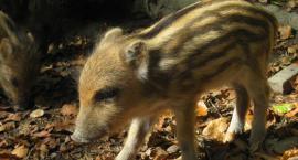 Dziki odporne i niebezpieczne