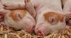 Świnie stale w dołku