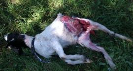 Groźny pies terroryzuje mieszkańców