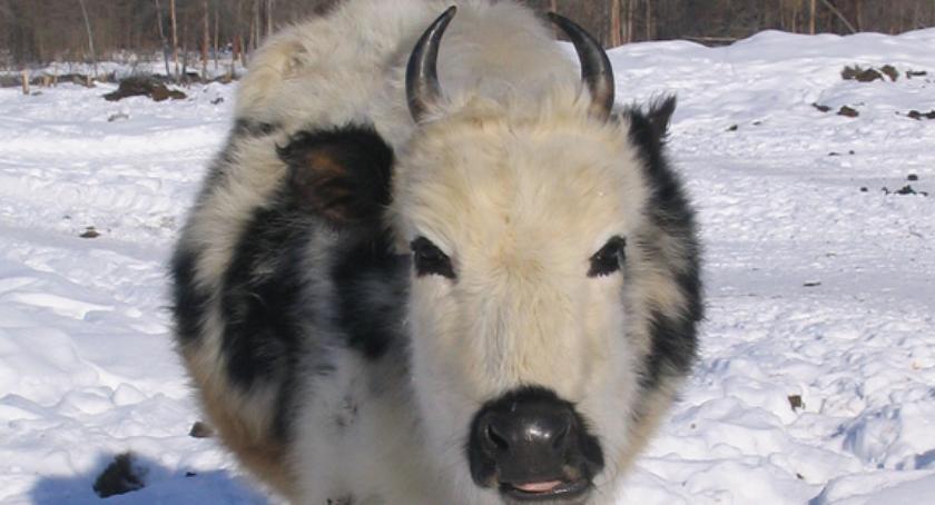 Ciekawostki, Krowa której niestraszne mrozy - zdjęcie, fotografia