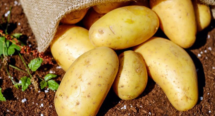 Uprawa, Młody ziemniak czyli - zdjęcie, fotografia