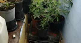 Hodował wdomu marihuanę