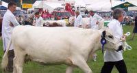 Krowa na wybiegu