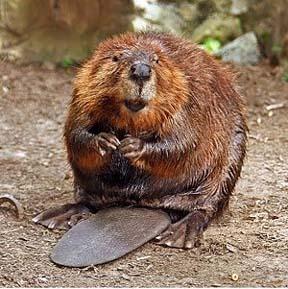 Ochrona zwierząt, Odstrzał bobrów ochrona wałów powodziowych powódź Polsce - zdjęcie, fotografia