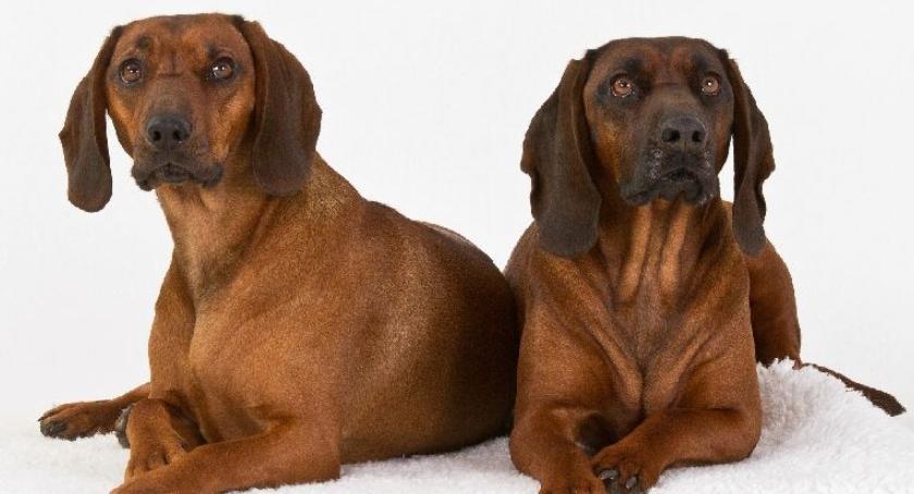 Psy myśliwskie, Zasady żywienia psów myśliwskich - zdjęcie, fotografia