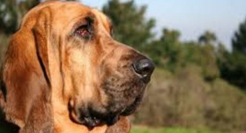 Psy myśliwskie, Bloodhound myśliwski - zdjęcie, fotografia