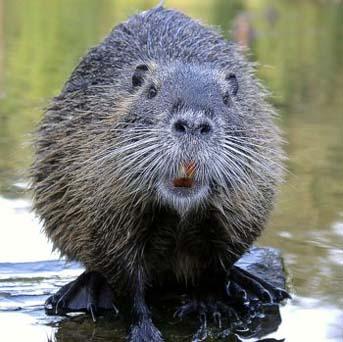 Ochrona zwierząt, Myśliwi chcą strzelać bobrów - zdjęcie, fotografia