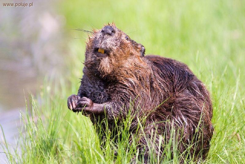 Ochrona zwierząt, Populacja bobra Polsce zostanie zachwiana - zdjęcie, fotografia
