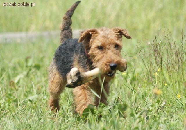 Psy myśliwskie, Naturalne zachowania psów - zdjęcie, fotografia