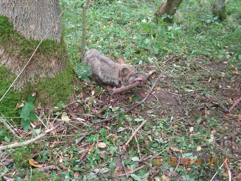 Kłusownictwo, Niesamowita historia uratowaniu wilka Bartoszyc - zdjęcie, fotografia