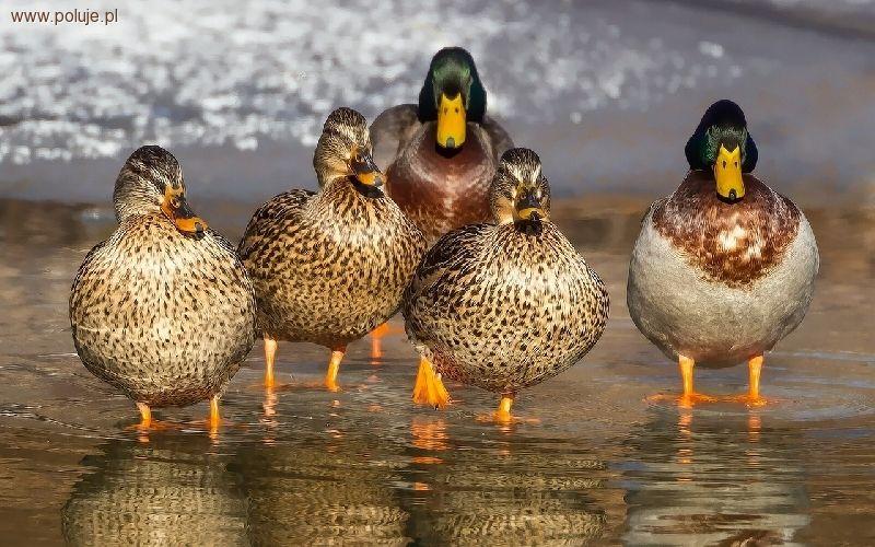 Ochrona zwierząt, Uwaga wysoce zjadliwa grypa atakuje polskie ptaki - zdjęcie, fotografia