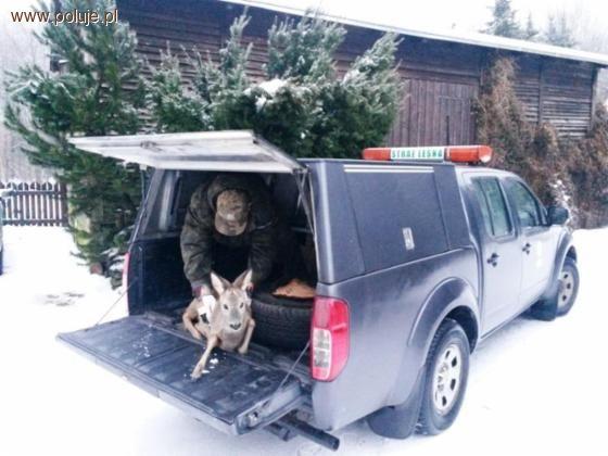 Ochrona zwierząt, koziołku łakomczuchu który ledwo uszedł życiem - zdjęcie, fotografia