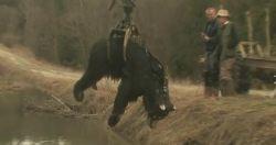 Martwy niedźwiedź w oczku wodnym