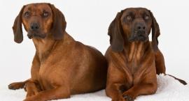 Zasady żywienia psów myśliwskich