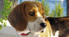 Beagle pies myśliwski