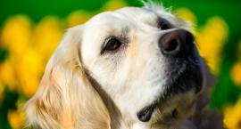 Golden Retriever- pies myśliwski