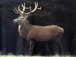 Zachowanie się jeleni w różnym wieku