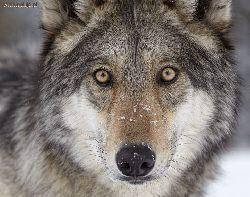 Kto zabił wilka w Bieszczadach?