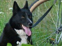BERA - Karelski Pies Na Niedźwiedzie