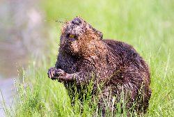 PZŁ: Populacja bobra w Polsce nie zostanie zachwiana