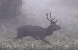 Byk na rykowisku – nagranie z Nadleśnictwa Iława