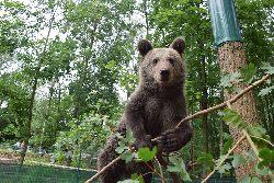 Niedźwiadek Cisna: od zbrodni kłusownika do wielkiej kariery