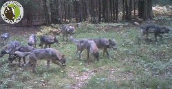 Fotopułapka rejestruje rekordową watahę wilków w Puszczy Białowieskiej