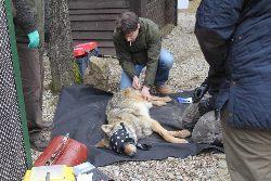Akcja uwolnienia wilka - film