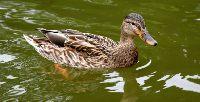 Polowanie na dzikie kaczki – ruszył sezon
