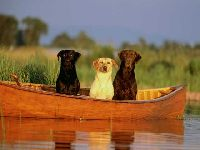Labrador - Psy pracujące
