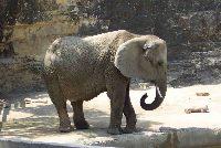 Chciał upolować słonia w Afryce - teraz żąda odszkodowania