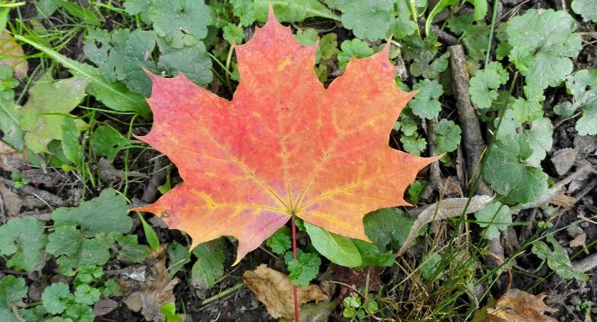 Wiadomości, Sprzątaj liście posesji twój obowiązek - zdjęcie, fotografia