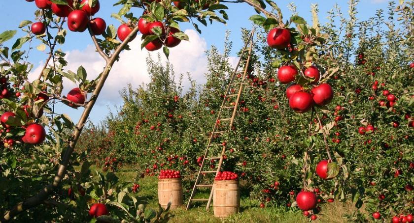 Wiadomości, Jabłek będzie dostatkiem Szykują obfite plony - zdjęcie, fotografia