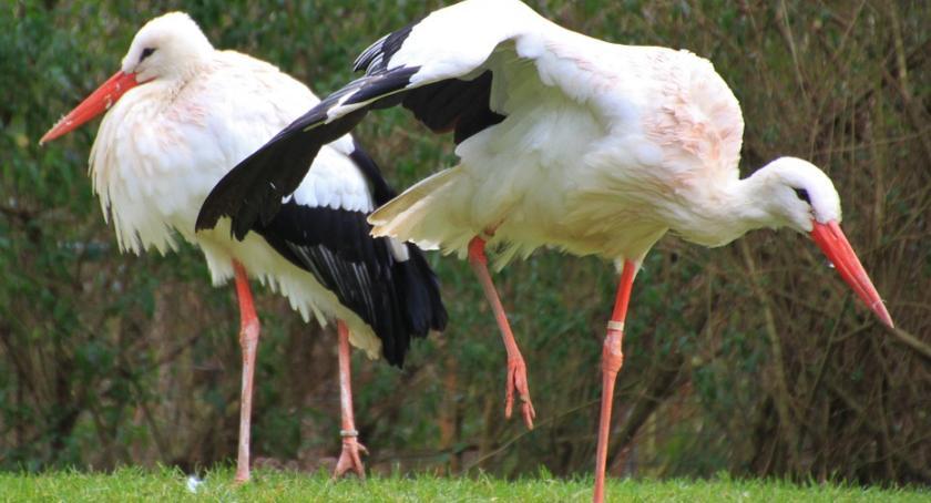 Styl Życia, Część bocianów została Polsce Ornitolodzy proszą obserwować dokarmiać - zdjęcie, fotografia