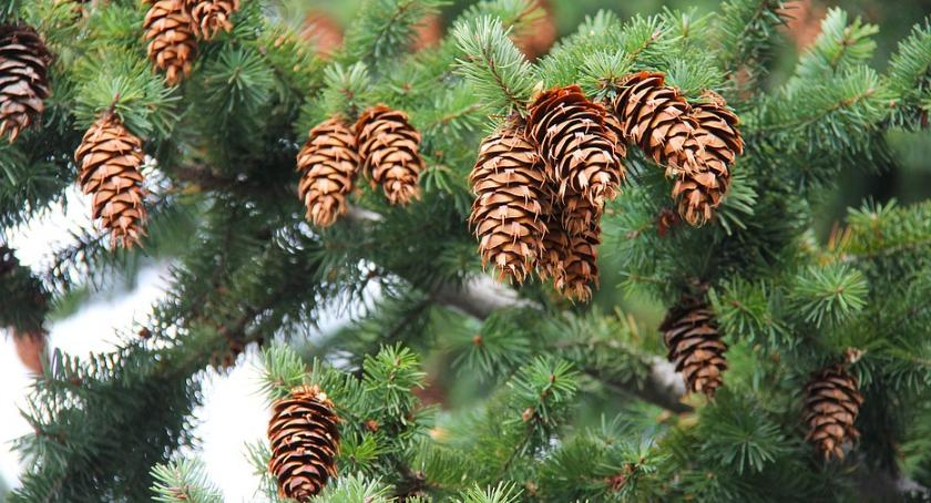 Co, gdzie, kiedy?, Potrzebny pilnie tysiąc szyszek! Akcent szykuje świąteczny wystrój! - zdjęcie, fotografia