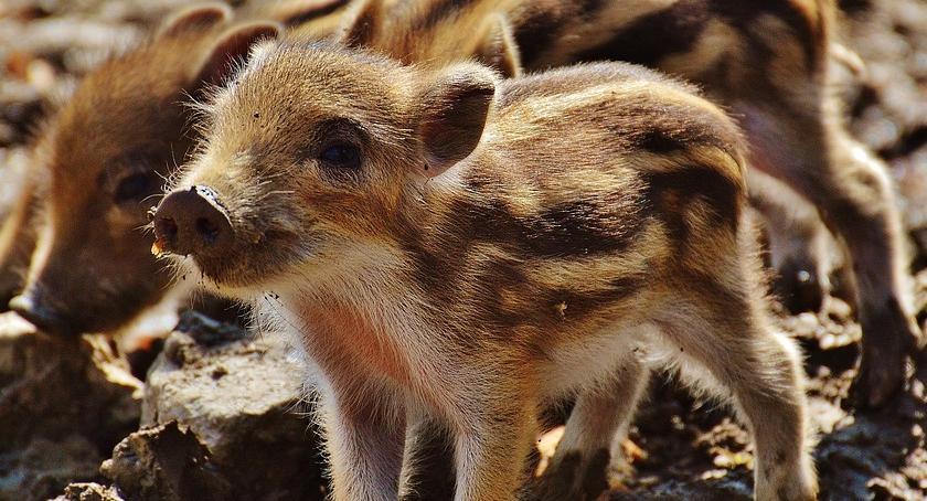 Wiadomości, Dziki szybciej mnożą mają lepszy dostęp pokarmu - zdjęcie, fotografia