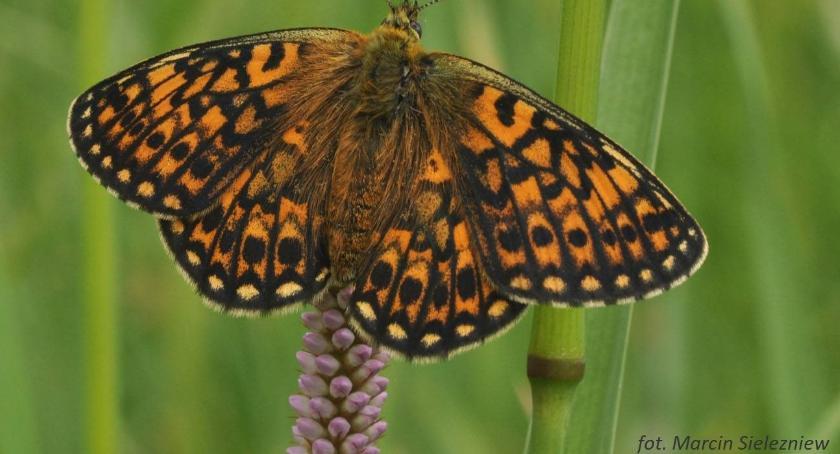 Wiadomości, najstarszym czasopiśmie naukowym pojawił okładce motyl Podlasia - zdjęcie, fotografia
