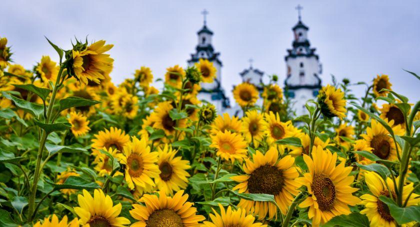 Wiadomości, Białystok żółty słoneczników - zdjęcie, fotografia